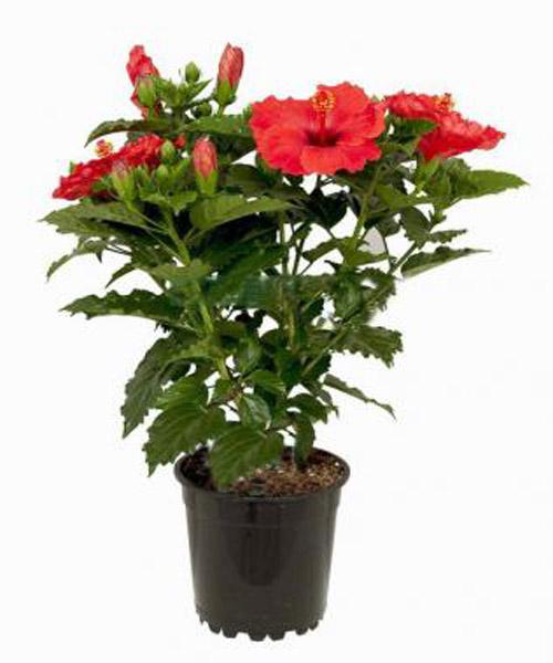 Цветы для счастья в доме - какие комнатные цветы приносят 23