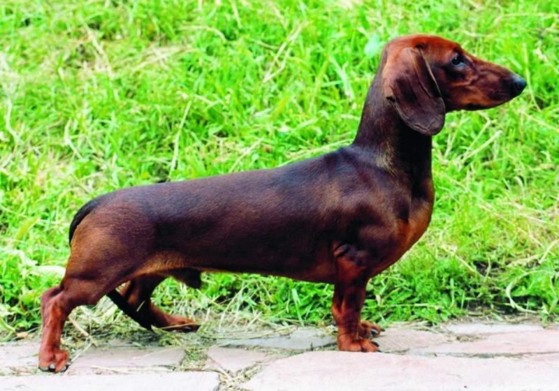 Порода собак такса фото порода собак