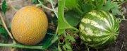 Как вырастить арбуз и дыню в России?
